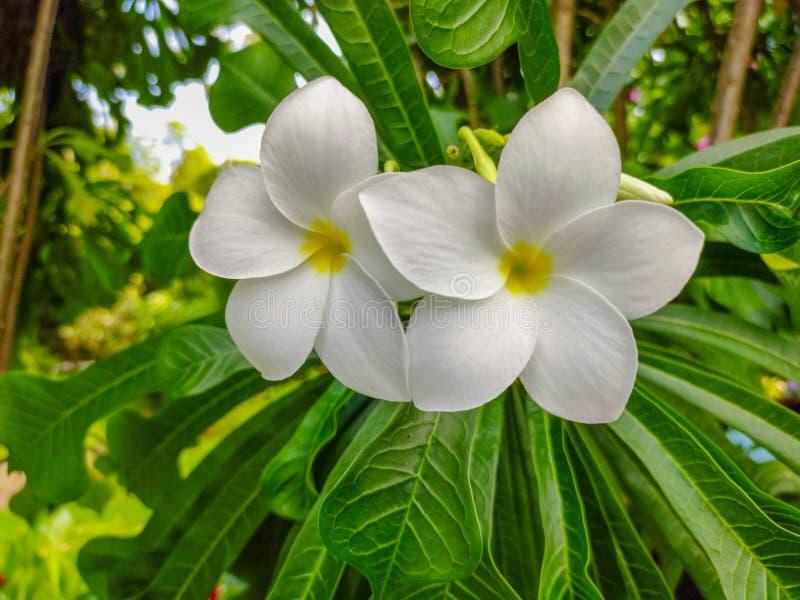 Белый цветок на дереве с солнечным светом стоковые изображения rf