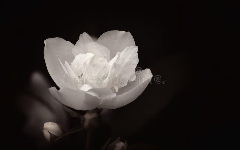 Белый цветок на черном конце-вверх предпосылки стоковое фото rf