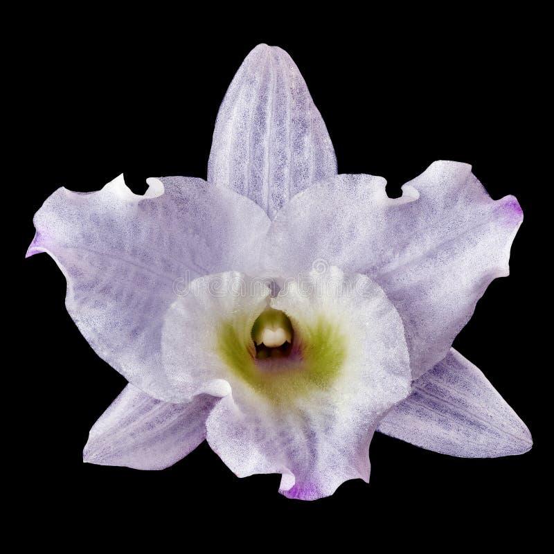 Белый цветок орхидеи при тень сирени, изолированная с черной предпосылкой Конец-вверх бутона цветка Элемент для конструкции стоковые фото