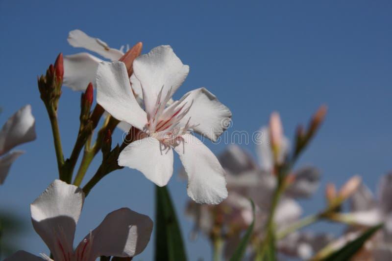 Белый цветок - орхидея стоковые изображения rf