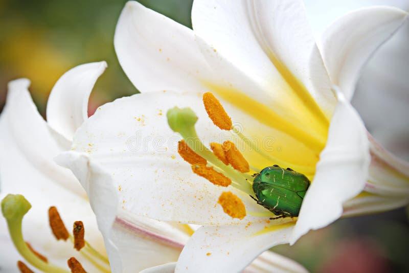 Белый цветок с желтой средней и зеленой черепашкой внутрь стоковая фотография