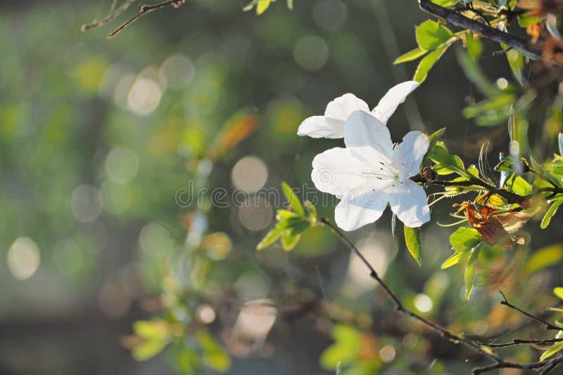 Белый цветок с задним светом стоковые изображения rf