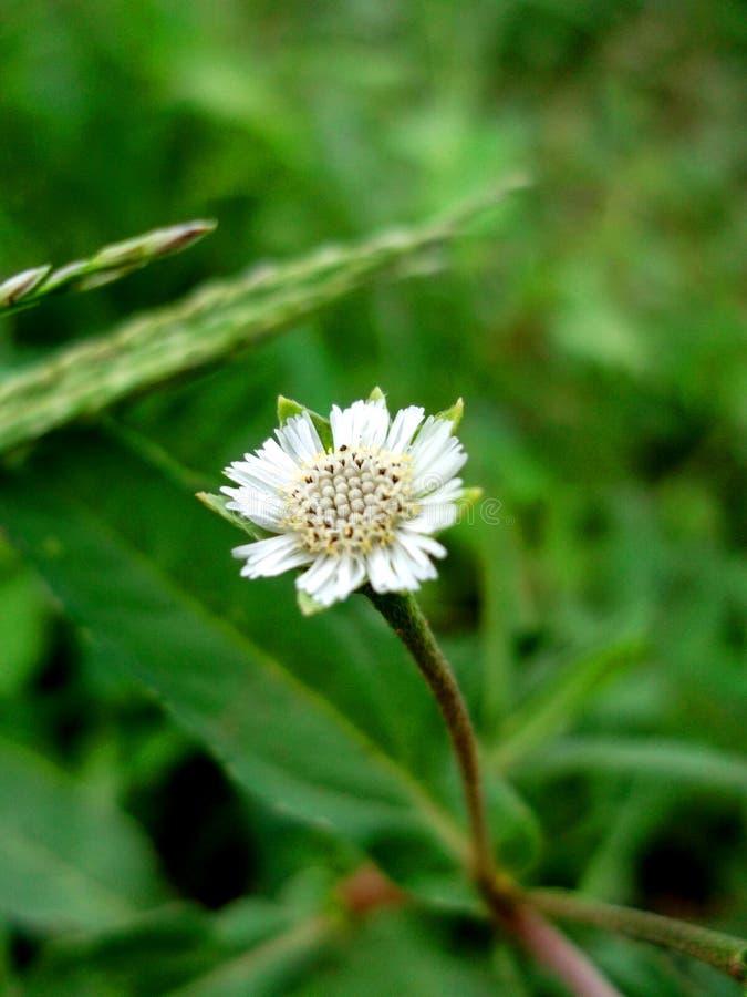 Белый цветок травы очень обычн стоковая фотография
