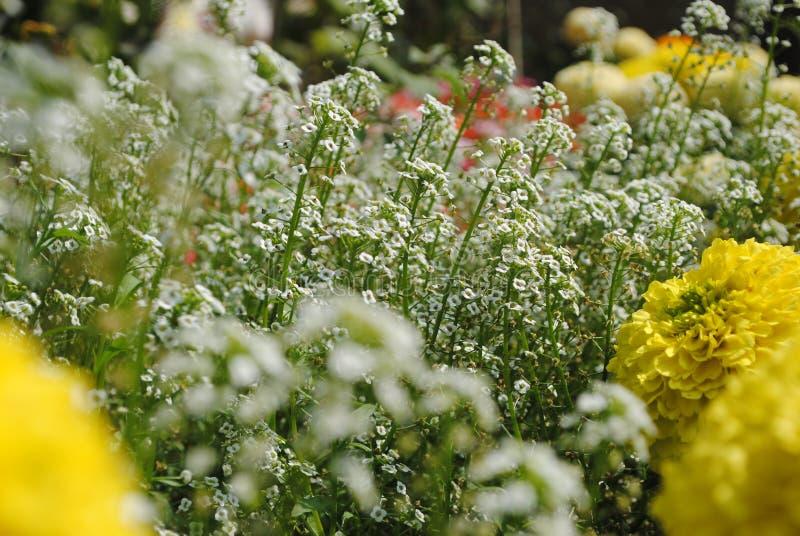 Белый цветок тысячелистника обыкновенного стоковые фотографии rf