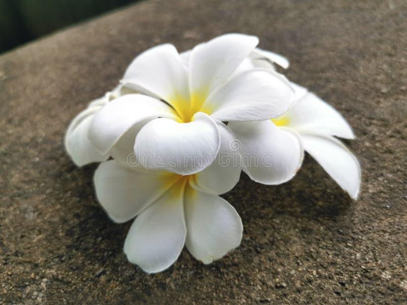 Белый цветок франгипани падает на цементный пол стоковые фотографии rf
