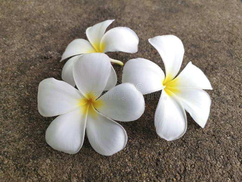Белый цветок франгипани падает на цементный пол стоковое изображение rf