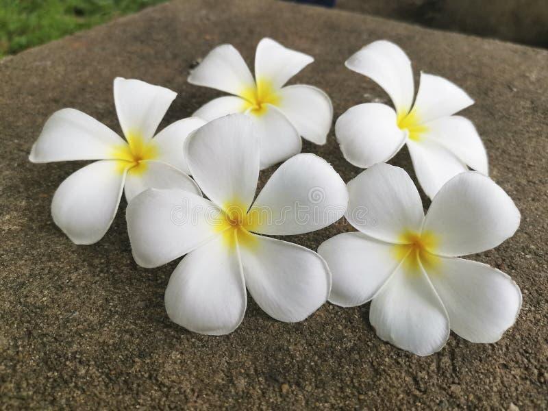 Белый цветок франгипани падает на цементный пол стоковое изображение