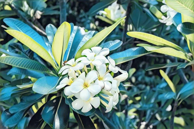 Белый цветок frangipani в голубых зеленых лист Иллюстрация цветения Plumeria цифровая Зацветая тропический куст стоковое фото