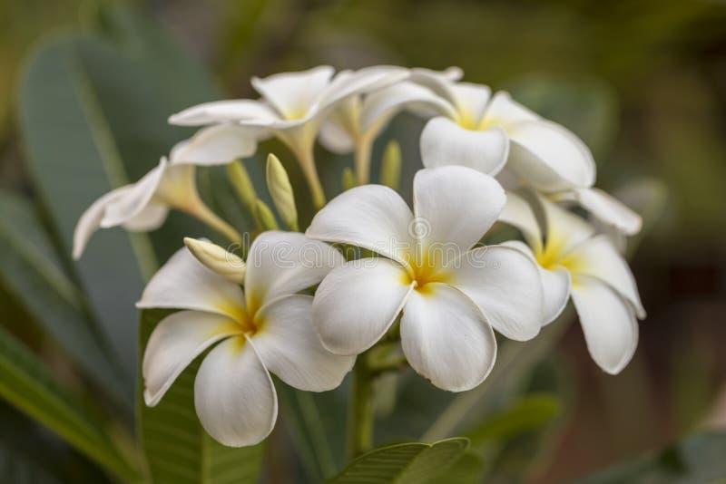 Белый цветок plumeria зацветая на дереве стоковые фотографии rf