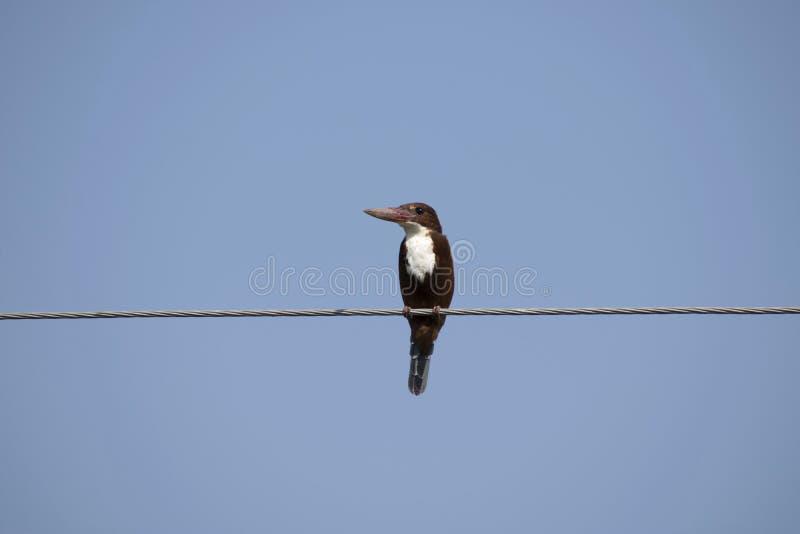 Белый breasted kingfisher, Lasur, Daryapur Taluka, район Amravati, махарастра, Индия стоковые фотографии rf