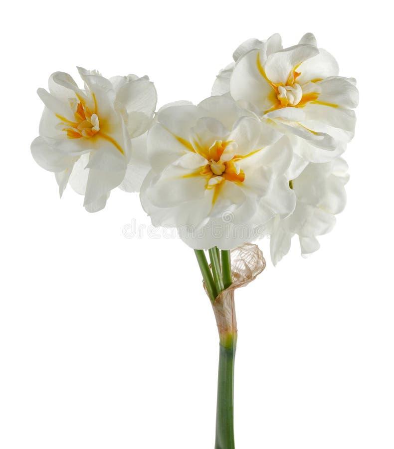 Белый daffodil изолированный на белизне стоковые изображения rf