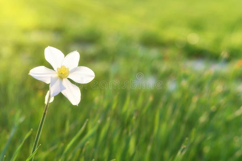 Белый daffodil на предпосылке grasslogy стоковые изображения rf