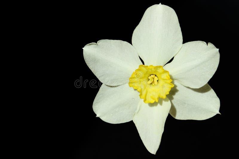 Белый Daffodil на темной предпосылке, конце вверх стоковые изображения
