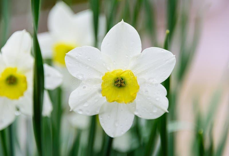 Белый daffodil с падениями росы стоковое изображение