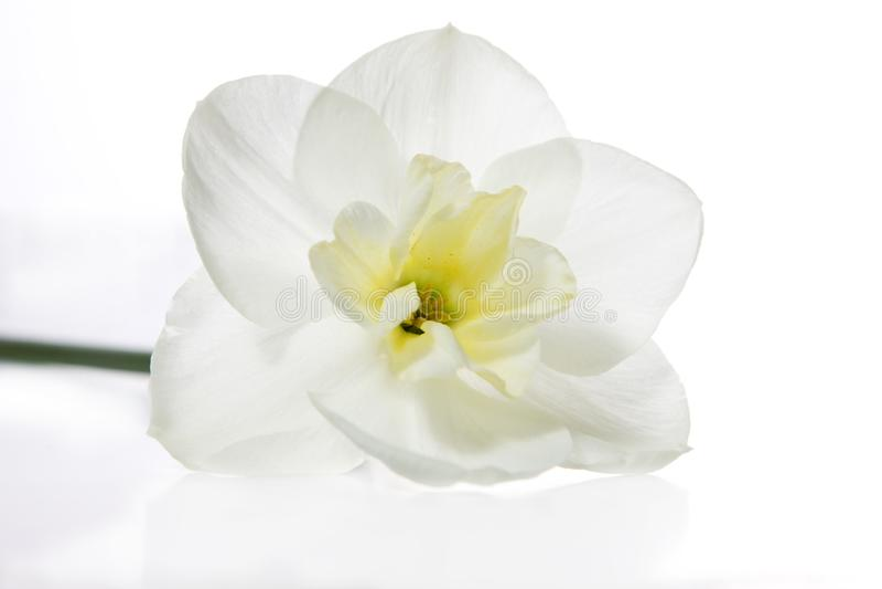 Белый Daffodil Стоковая Фотография