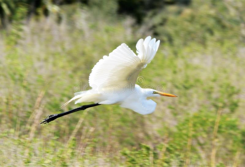Белый Egret грациозно витает от земли к ветви дерева на болоте острова стоковое фото rf