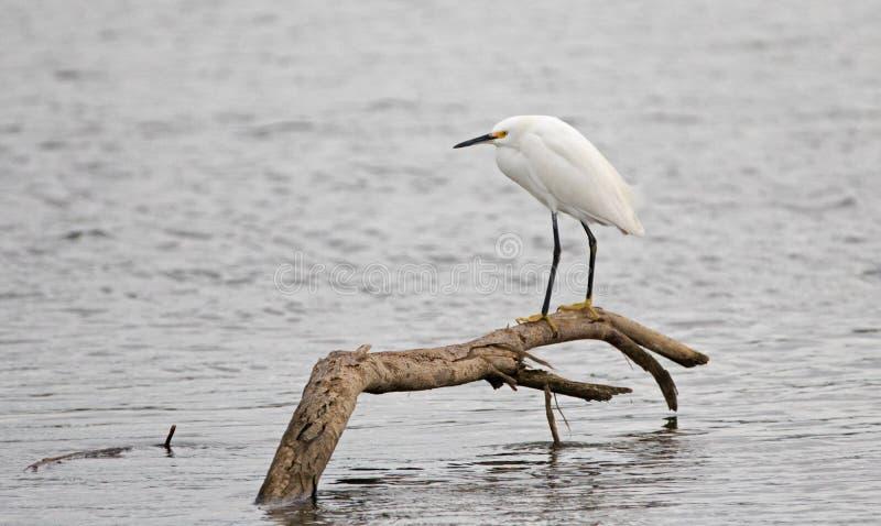 Белый Egret садился на насест на ветви в brackish воде в болоте природного заповедника в Сан-Хосе del Cabo в Нижней Калифорнии Ме стоковые фотографии rf
