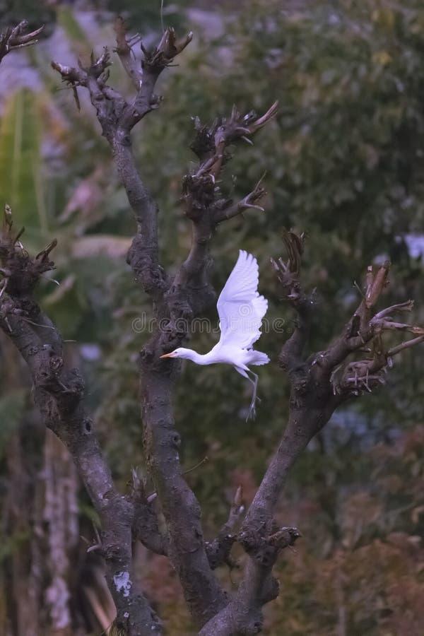 Белый egret стоковое фото rf