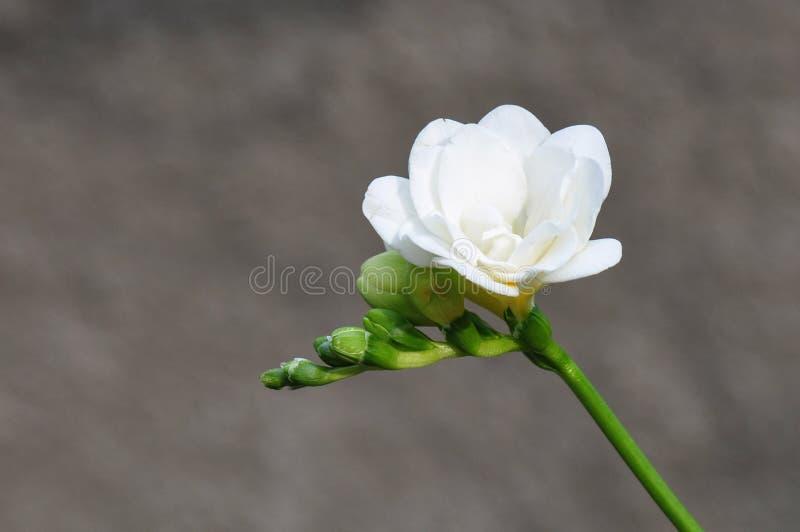 Белый freesia стоковая фотография rf