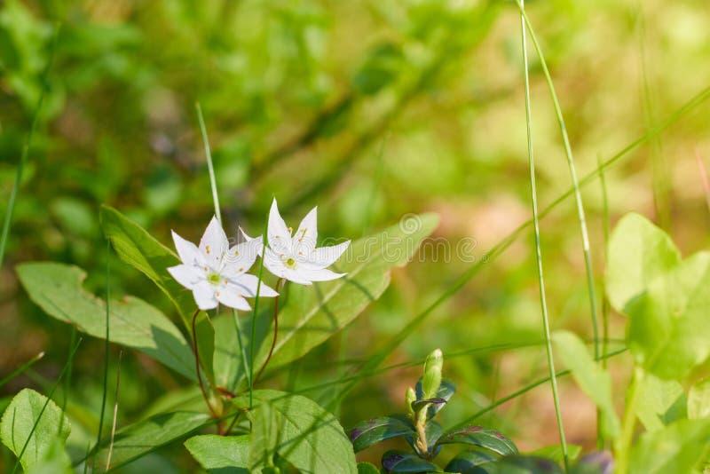 Белый Gardenia крепирует пары жасмина a зацветая конца-вверх цветков r белые зацветая цветки на зеленой предпосылке стоковая фотография