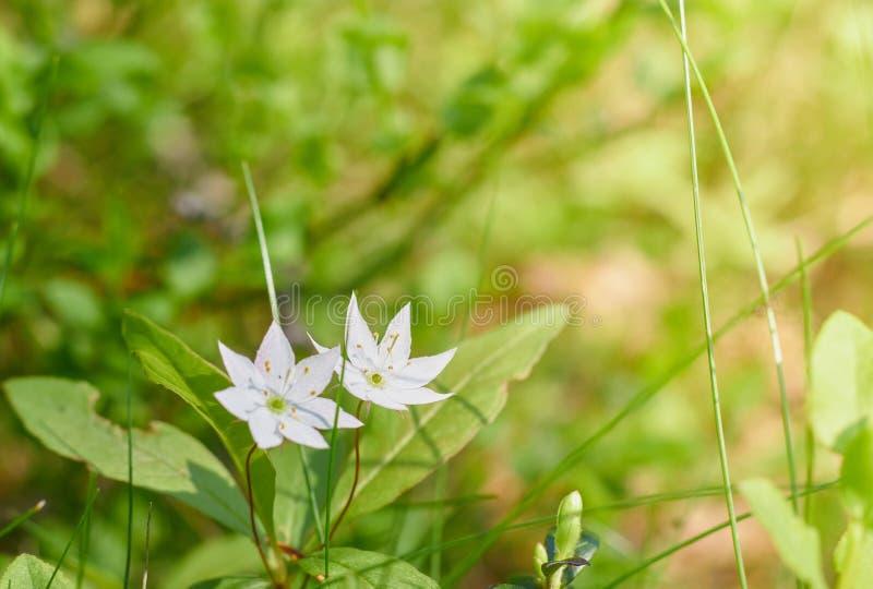 Белый Gardenia крепирует пары жасмина a зацветая конца-вверх цветков r белые зацветая цветки на зеленой предпосылке стоковые фото