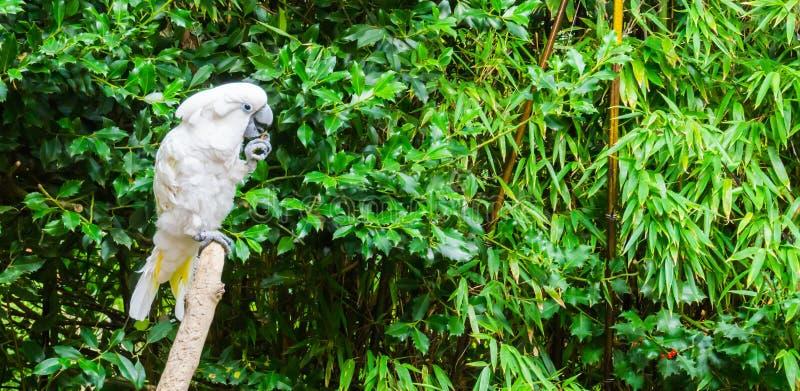 Белый moluccan какаду кладя некоторую еду в его рот и вставляя его язык вне стоковые фотографии rf