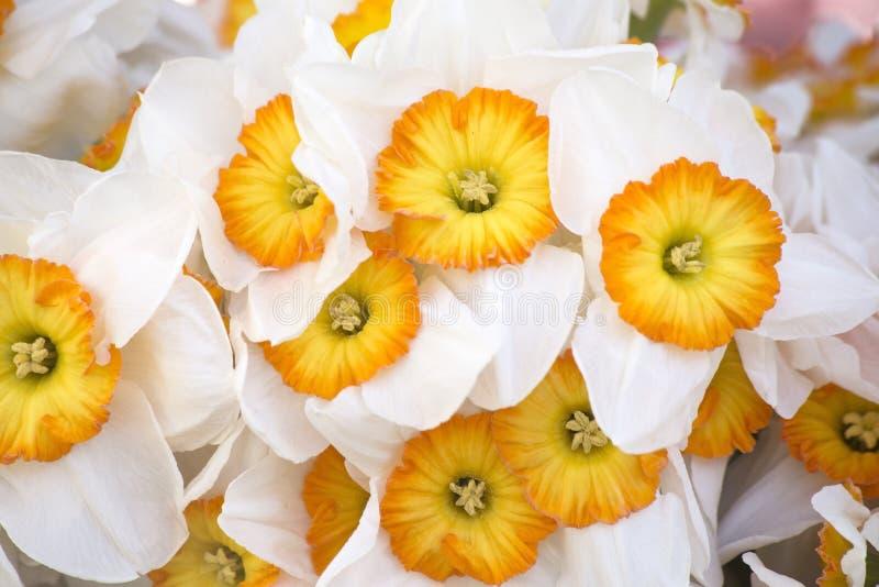 Белый narcissus стоковые изображения