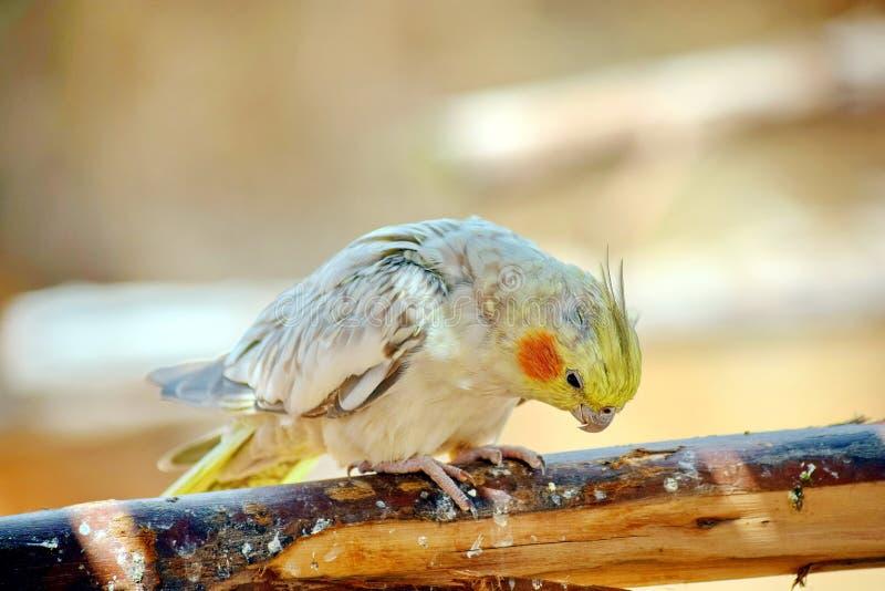 Белый Nymphicus Hollandicuson Cockatiel сидя на ветви стоковые изображения