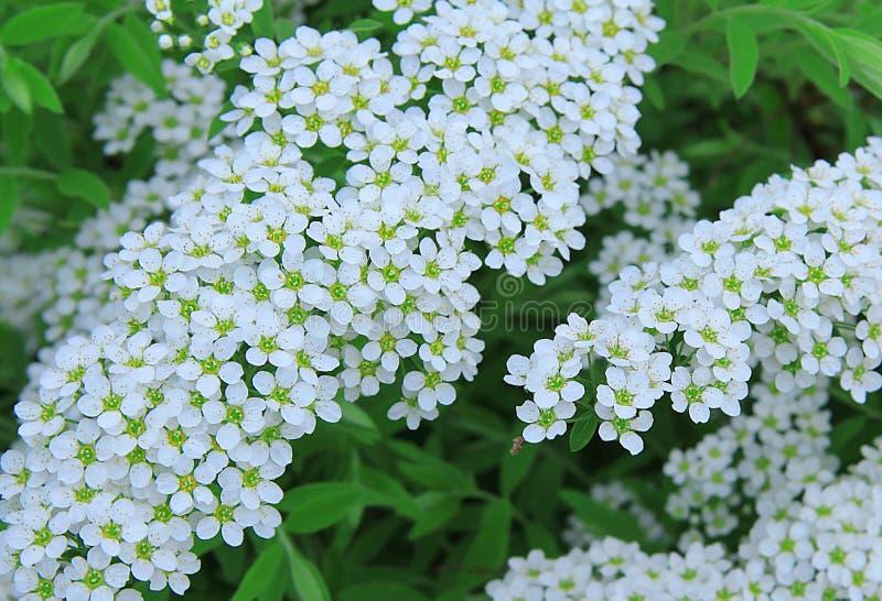 Белый Spiraea Немногое белые цветки r Летний день в саде стоковые фотографии rf