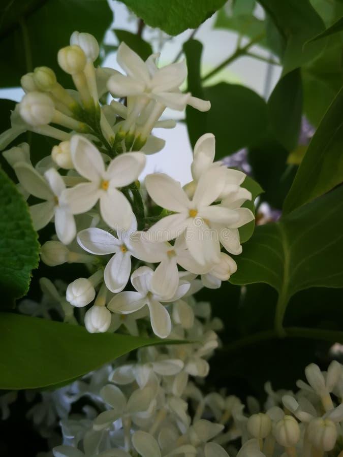 Белый Syringa Vulgaris, общая сирень представляет стоковое фото rf