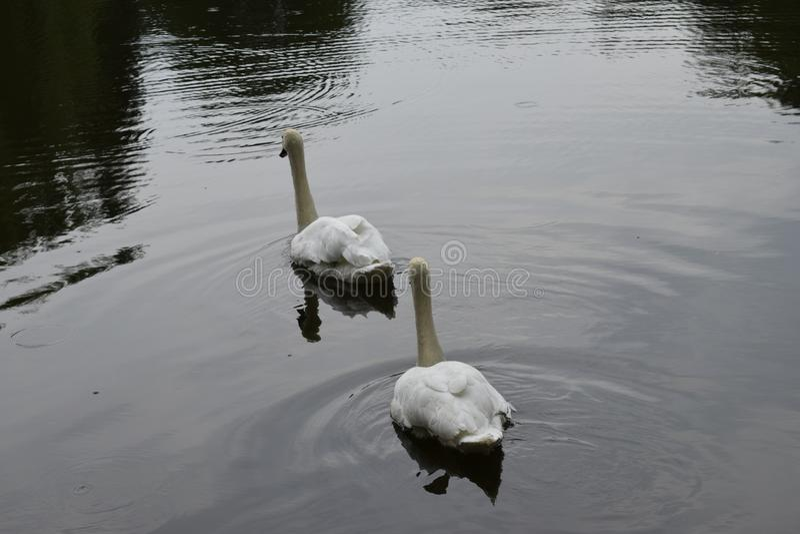 2 белых лебедя плавая на озере стоковая фотография rf
