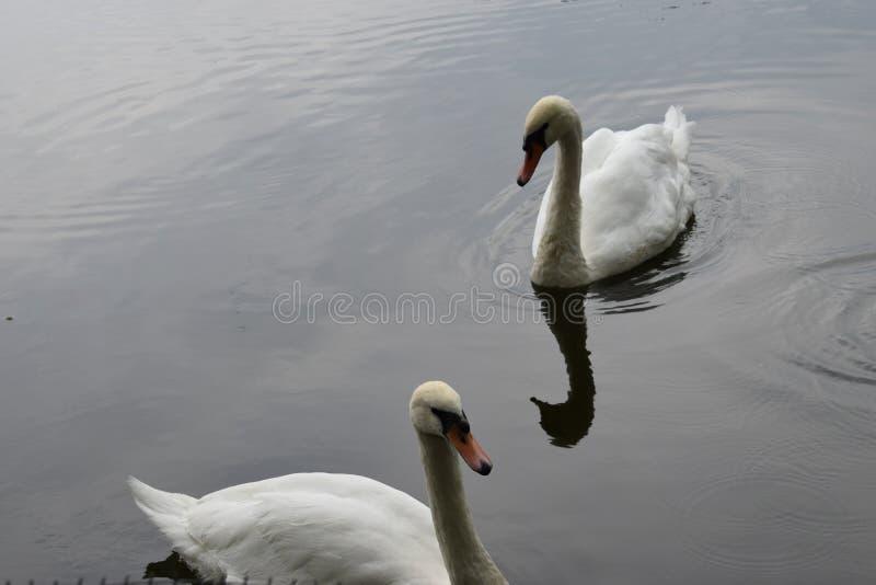 2 белых лебедя плавая на озере стоковая фотография