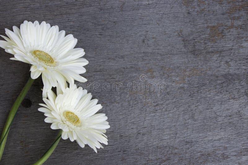 2 белых маргаритки на деревянной предпосылке стоковая фотография