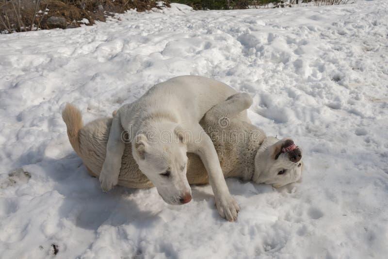 2 белых щенят 7 месяцев старых играют в снеге стоковые изображения