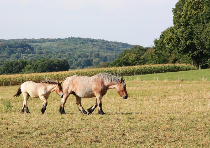 бельгийская конематка лошади кобылки проекта стоковая фотография