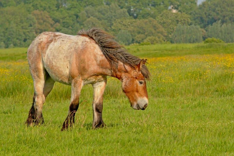 Бельгийская лошадь проекта пася в луге с желтыми цветками и деревьями позади стоковые изображения