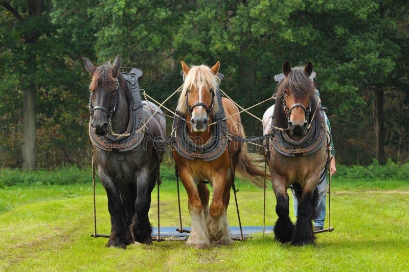 бельгийские лошади стоковые фото