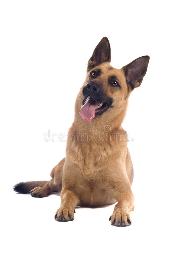 бельгийские malinois собаки стоковые изображения