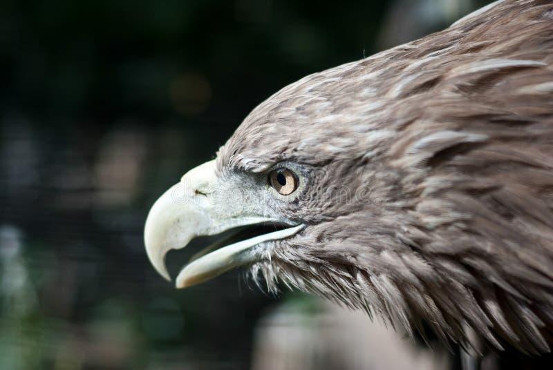 Бел-замкнутый портрет орла стоковая фотография