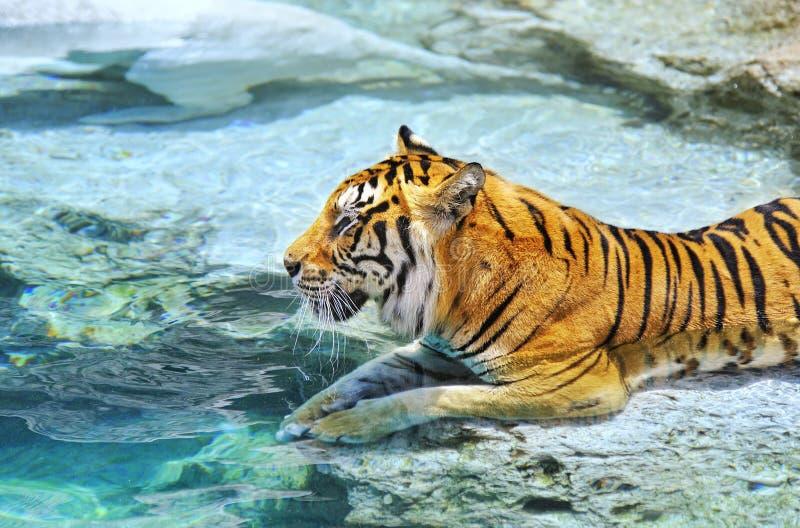 Бенгалия около воды тигра стоковое изображение