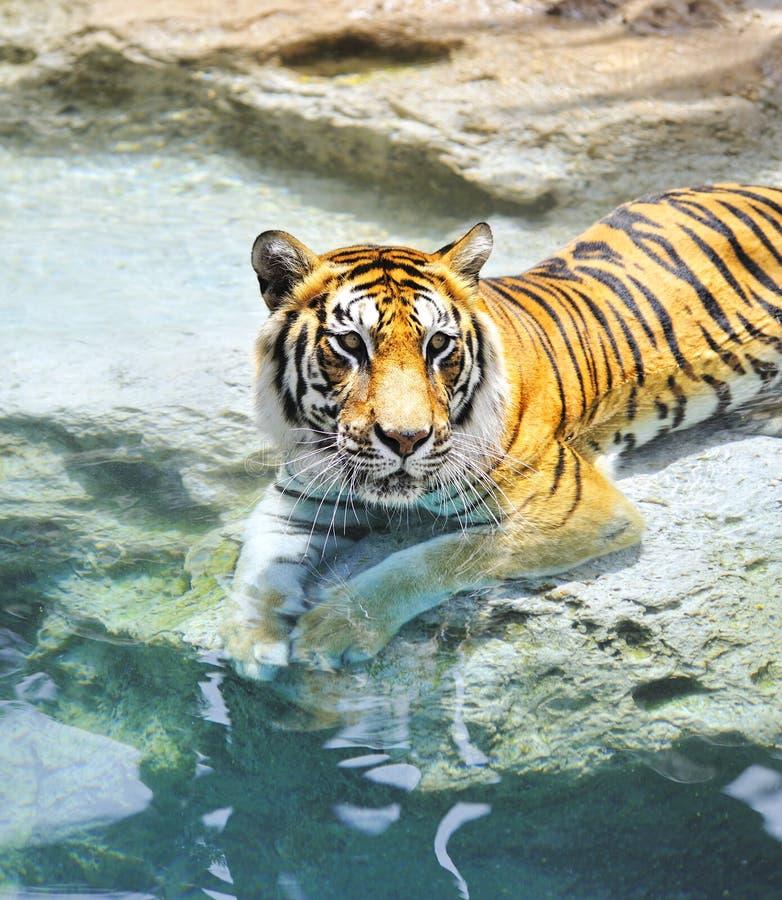 Бенгалия около воды тигра стоковые изображения