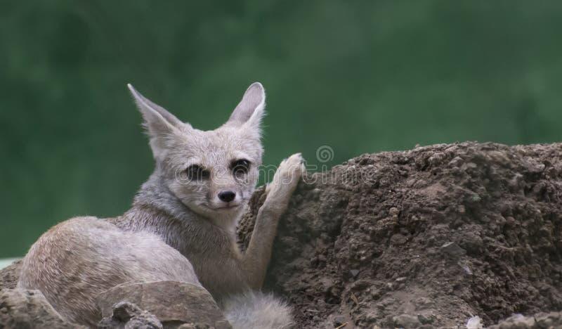 Бенгалия/индийский Fox стоковое изображение rf