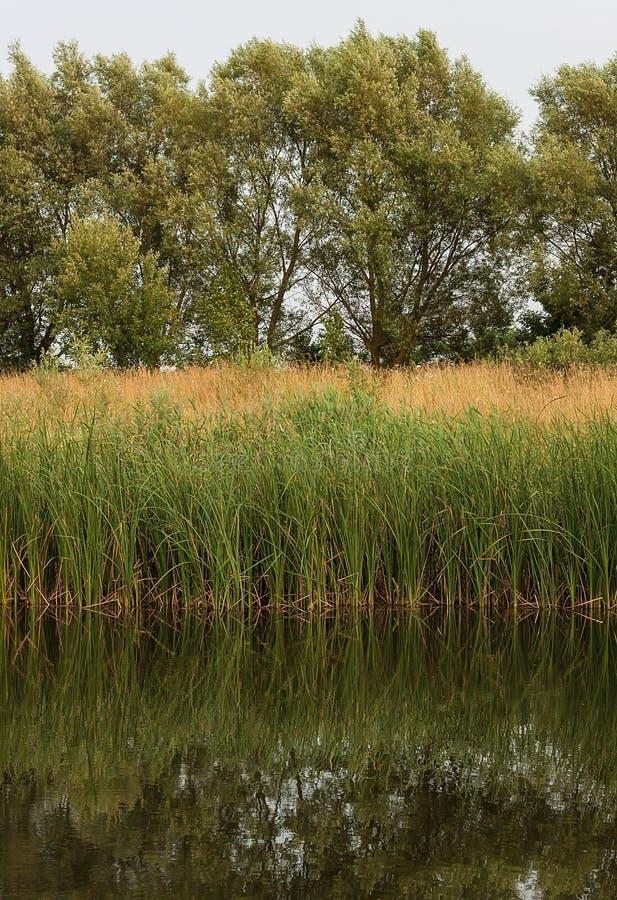 Берег озера при отраженные тростники и деревья стоковое фото