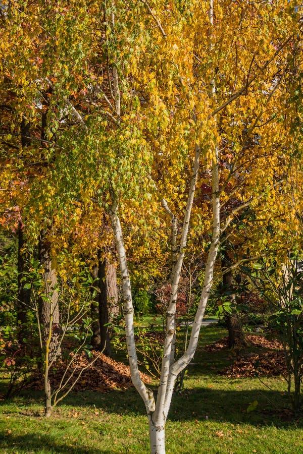 Береза золота осени Хоботы белой березы на предпосылке желтой листвы деревьев Радостный солнечный день стоковая фотография rf