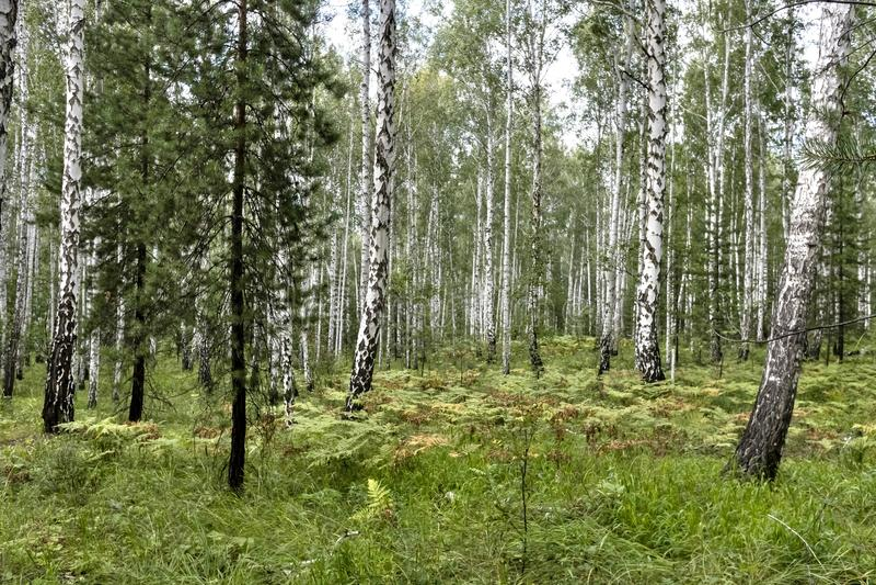 Береза и сосновый лес в лете в солнечной погоде стоковая фотография rf
