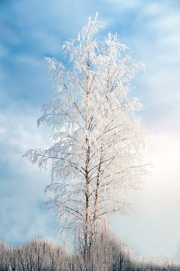 Береза предусматриванная с заморозком против голубого неба стоковые изображения