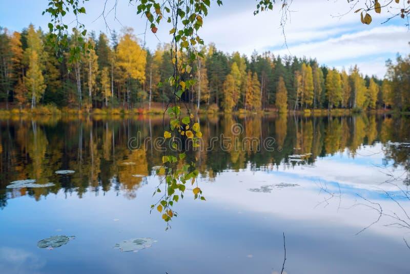 Береза разветвляет с листьями над водой озера Ландшафт осени стоковые изображения