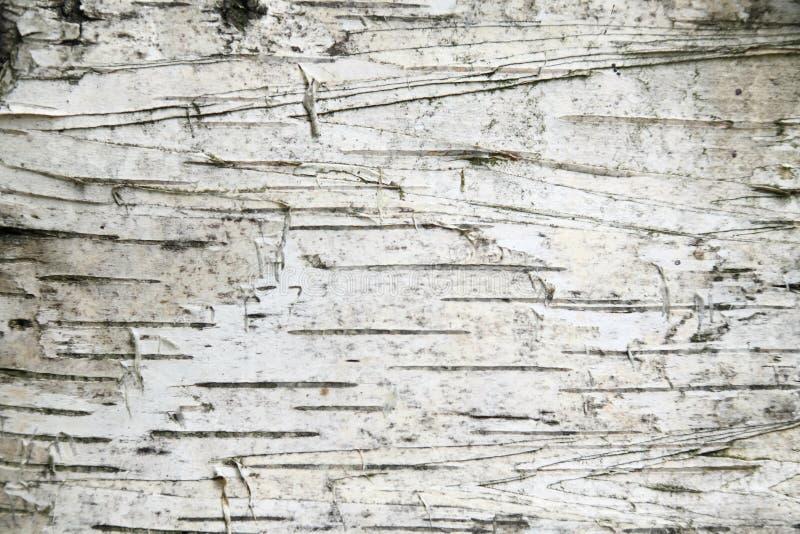 береза расшивы предпосылки стоковое фото