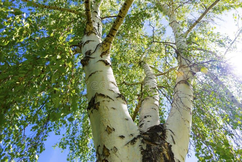 Береза с 3 массивными ветвями и зелеными листьями стоковые фотографии rf