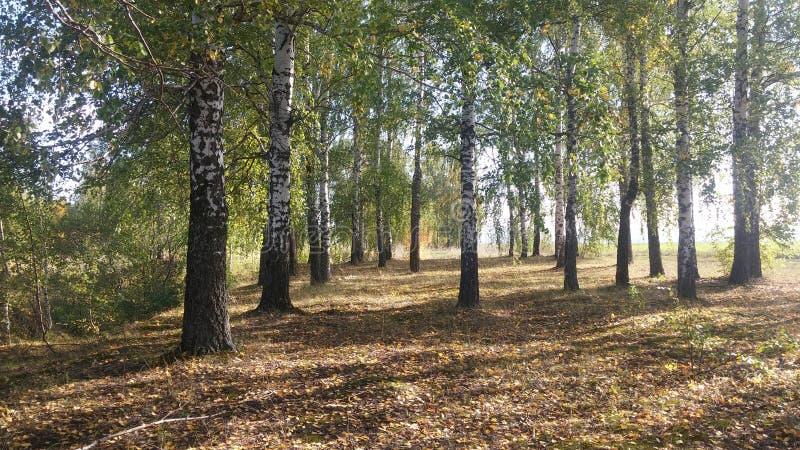 Березы осени в России стоковое фото